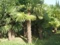 venta-palmeras-trachycarpus-fortunei-palleja