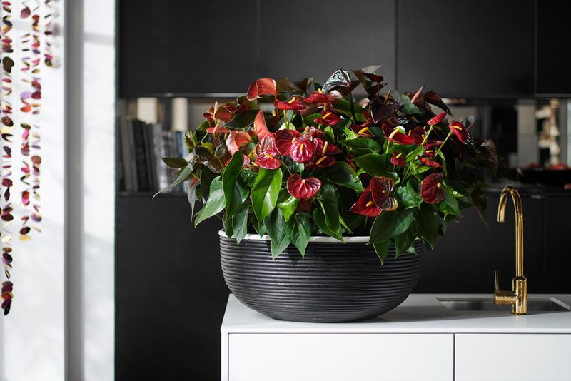Anturio: planta del mes de diciembre