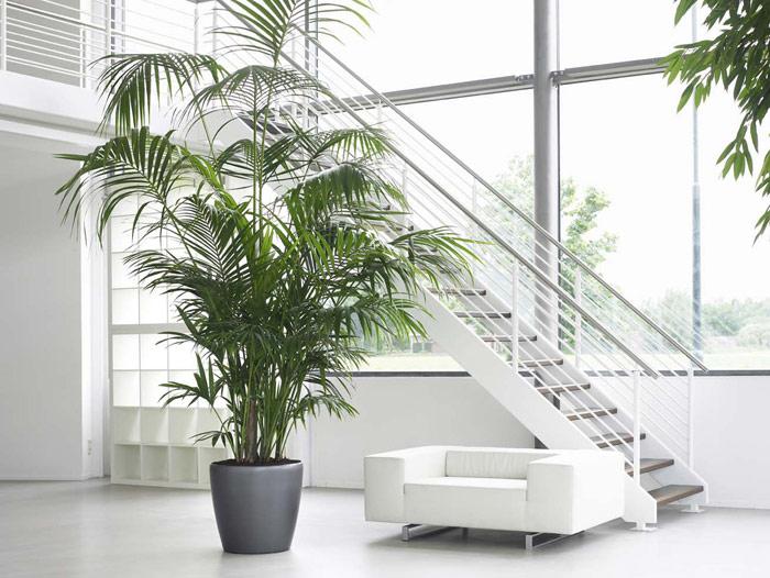 La Kentia: planta del mes de enero