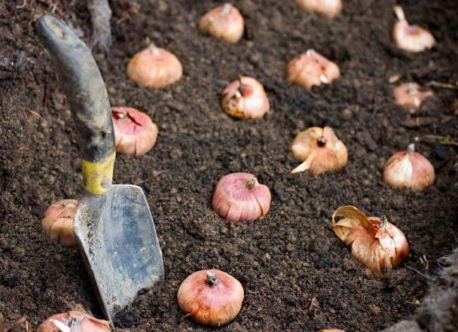Plantación y cuidados de las plantas bulbosas
