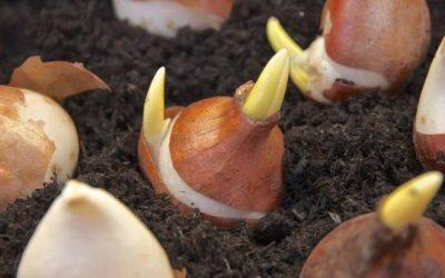Cómo cultivar los bulbos de otoño