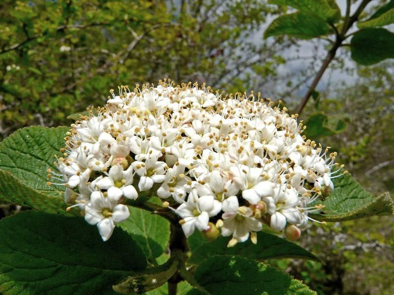 Viburnos: de las flores a las bayas