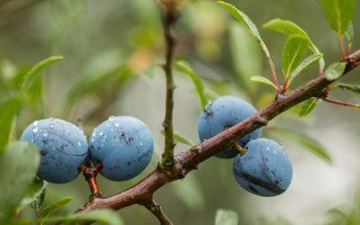 Cómo cuidar los frutales de hueso y pepita