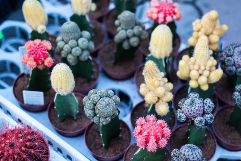Los cactus